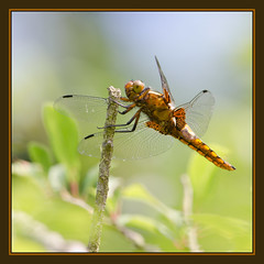Broad-bodied Chaser (f) (Full Moon Images) Tags: wood macro nature insect dragonfly wildlife reserve national monks trust cambridgeshire