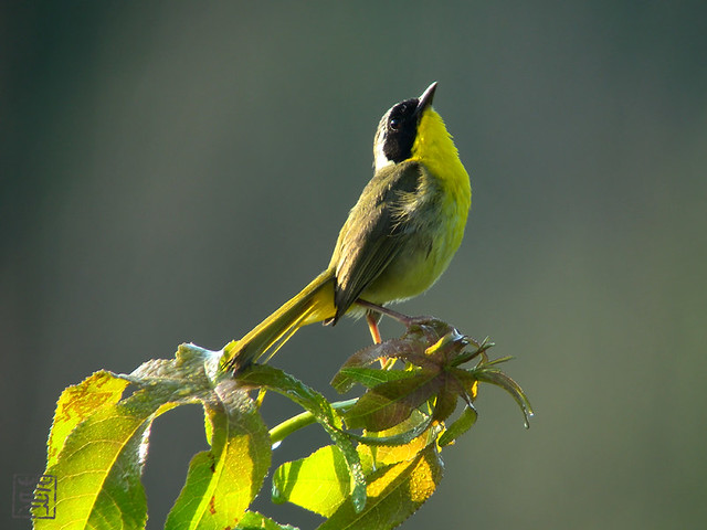 Common Yellowthroat, Jul 2011