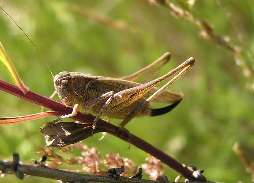 Platycleis montana - Steppe Bush-cricket - Decticelle des steppes - 04/07/11