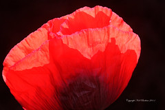 IMG_5991 copy (galblue) Tags: flowers poppy coloursinourworld