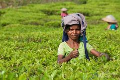 Tea Picker - Srimongal, Bangladesh (uncorneredmarket) Tags: people tea bangladesh teagardens teaestates manuallabor srimongal teaplantations ruralbangladesh teapickers sylhetdivision sreemangal