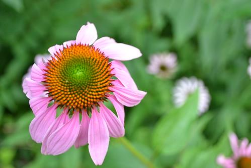 pink echinacea by ellajohn
