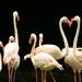 Os flamingos fazendo uma homenagem ao amor