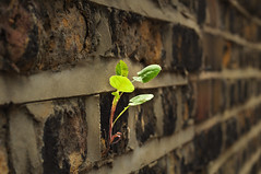 Immortar (mendhak) Tags: wallpaper plant brick wall weed mortar mendhakwallpaper mendhakwebsite