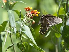 Flutter By (Nick Fedele) Tags: flower butterfly tampa photo nikon fl milkweed nf nfphotography d3100 nickfedele