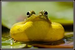 Green frog (Froggy 6) (JoeUrbanPhoto) Tags: peregrino27life