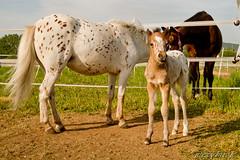 Ich lass' sie am besten allein ... (Saxybuck) Tags: pferde fohlen ladenburg kurpfalz systemik neubotzheim
