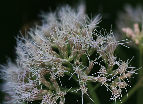 White Spikey Flower