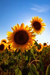 De espaldas al sol (Jose Casielles) Tags: color planta luz sol flor cielo verano campos girasol yecla pipas petalos fotografasjcasielles