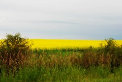 Canola Field in Bloom (grapefruit moon (Barb)) Tags: summer grass yellow rural alberta canolafields