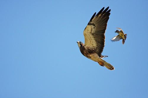 1swainson vs w kingbird dave harper oakley