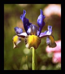 Iris. (Josephine Dahl) Tags: iris summer flower garden denmark bokeh gardening olympus scandinavia zuiko thegarden 2011 e420 flowersinourgarden
