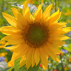 Sunny sunflower... (Lady Haddon) Tags: park flowers copyright flower london canon 50mm flora sunflower canon5d peckhamryepark southwark allrightsreserved peckham peckhamrye southeastlondon se15 2011 flowersarebeautiful mixofflowers kimhaddon macromagister kimhaddonphotography