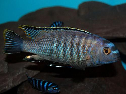Tropheops sp. 'gracilior nankumba' Thumbi West Island