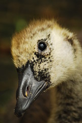 Ralph (Angelicus73) Tags: bird nature geese wildlife goose waterfowl allotment canadagoose brantacanadensis