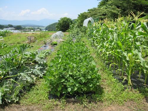 植え付けの完了した畑 2011年7月23日 by Poran111
