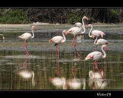 Fenicotteri nello Stagno di Quartu (sirVictor59) Tags: sardegna italy topf50 nikon europa europe italia zoom flamingo topf150 topf100 cagliari poetto stagno fenicotterirosa specanimal sirvictor59 sigma150500 saariysqualitypictures mygearandme mygearandmepremium mygearandmebronze mygearandmesilver mygearandmegold dblringexcellence tplringexcellence peregrino27life eltringexcellence