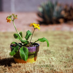 Just another potted plant (kevin dooley) Tags: favorite brown plant hot flower 120 grass leaves wow mediumformat photography photo leaf interesting fantastic backyard flickr dof image very good awesome lawn picture free award superior dry pic super best pot more most velvia pottedplant burnt photograph drought creativecommons winner excellent fujifilm much incredible better