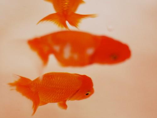 金魚かわいい
