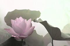 Lotus Flower - IMG_0294-1-1000-grain (Bahman Farzad) Tags: flower macro yoga peace lotus relaxing peaceful meditation therapy lotusflower lotuspetal lotuspetals lotusflowerpetals lotusflowerpetal