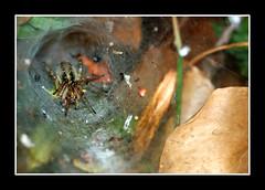 spider (billou33) Tags: macro nature canon insect spider 100mm insecte araigne