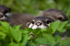 I Can See You (Thanks to everyone, 500K+ views!! www.christopherw) Tags: animals canon fur asian eos zoo is edinburgh short otter getty usm gettyimages clawed 70300 50d rzss