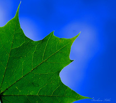 Maple Leaf Minimalism (misst.shs) Tags: blue macro green closeup leaf nikon bluesky mapleleaf minimalism sandpoint northidaho d40x macromondays
