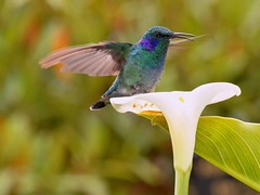 Green Violet-ear Hummingbird on White Lily. (One more shot Rog) Tags: bird birds de fly costarica san hummingbird lily wildlife small feathers lilies tiny hummingbirds humming dota hovering hover gerardo beaks parching greenvioletearhummingbird