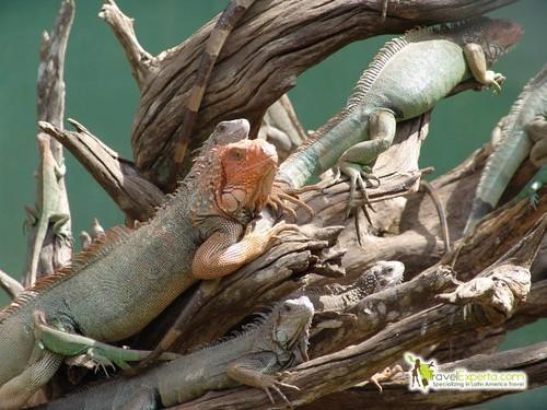 Iguanas in manuel antonio park Costa rica