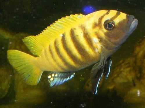 "Metriaclima sp ""zebra gold"" 'Kawanga'"