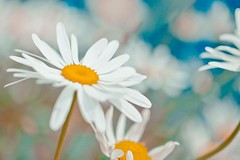 Daisy, daisy! (Steve-h) Tags: flowers blue ireland dublin white green nature yellow daisies river grey bokeh blossoms daisy marguerite dodder steveh platinumheartaward canoneos5dmk2 doublyniceshot canonef100mmf28lmacroisusm tripleniceshot mygearandme mygearandmepremium mygearandmebronze mygearandmesilver mygearandmegold mygearandmeplatinum artistoftheyearlevel3 artistoftheyearlevel4 explorelastsevendaysinteresting exploreinterestinglastsevendays artistoftheyearlevel5
