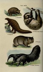 Anglų lietuvių žodynas. Žodis banded anteater reiškia surištas skruzdėdos lietuviškai.
