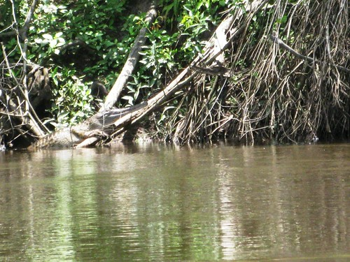 narrow-snout croc on the Lomami