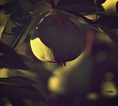 A pear from our pear tree (Irene Bialas) Tags: food tree fruit pears bokeh hanging edible lulhon