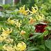 Lilium lancifolium var. flaviflorum