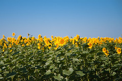 (Minarge) Tags: blue summer field yellow landscape sunflower