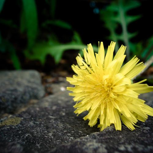 Bowing Dandelion
