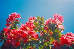 Taken. (new.brighton) Tags: flowers film oregon portland pentax southeast