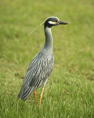 360-Part1 (10) (Mars-Flash) Tags: bird heron animal landscape background wildlife natuur pssaro ave oiseau gara reiger vogel hron uccello  ptak fgel lintu garza vilt reiher ptk vidaselvagem airone  jeb    wildtiere  madr czapla haikara vidasalvaje  hger    faunaselvatica  zv kcsag vadvilg  villielimet espcessauvages dzikaprzyroda  naturalandtexture