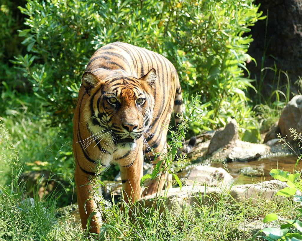 Der Tiger fast ausgestorben!