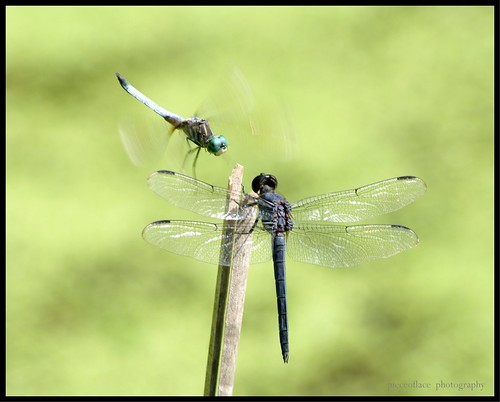 Dragonfly's version of musical chairs...