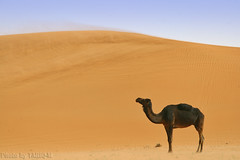 Blowing sand with lovely Camel - Explore Front Page (TARIQ-M) Tags: texture landscape sand waves pattern desert ripple patterns dunes wave camel ripples camels riyadh saudiarabia    blowingsand           canon400d          canonefs18200mmf3556is