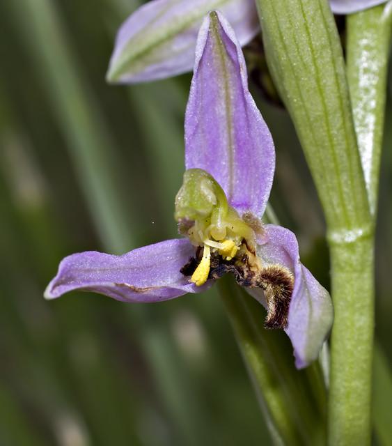 Lusus Ophrys apifera 6009396040_fd28af1148_z