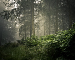 A realm of mist (Jase-18) Tags: trees mist fog forest canon cumbria ferns beaconhill penrith ef50mm18ii eos550d rebelt2i kissx4digital