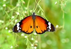 Plain Tiger (pallab seth) Tags: india macro butterfly nikon bokeh ngc bengal danae westbengal nymphalidae plaintiger danauschrysippus tropicalbutterfly parthenium africanmonarch tamronaf70300mmf456dildmacro indianmonsoon ahqmacro naturethroughthelens d3100 grambanglarchobi