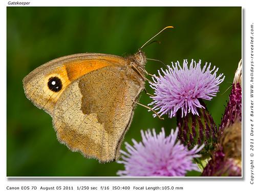 Gatekeeper Butterfly Birkacre Yarrow Valley Chorley Lancashire