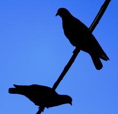 Palomas in blue (carlos_ar2000) Tags: blue sky bird argentina animal silhouette azul wire buenosaires couple pareja pigeon dove paloma cable ave cielo silueta pajaro abasto balvanera oltusfotos