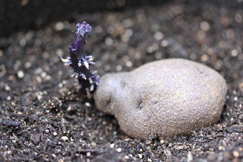 Purple Potatoes planted