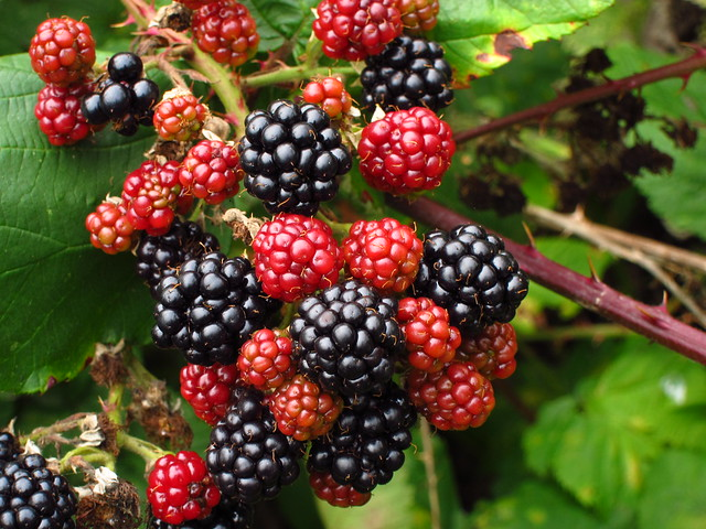 Blackberries, Hampstead Heath
