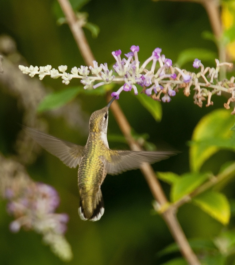 Hummingbird Handheld sm